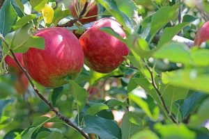 Introduction to  Apple Tree Pruning and Care Workshop @ Mossend Farm